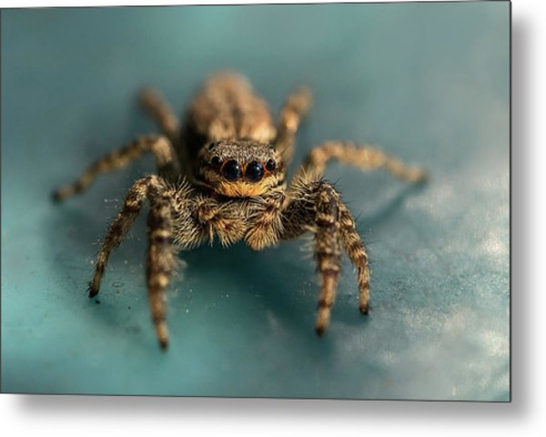 Small Jumping Spider Metal Print