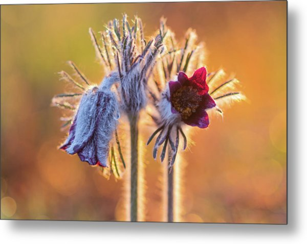 Metal Print featuring the photograph Small Pasque Flower, Pulsatilla Pratensis Nigricans by Davor Zerjav