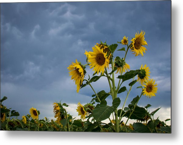 Small Sunflowers Metal Print