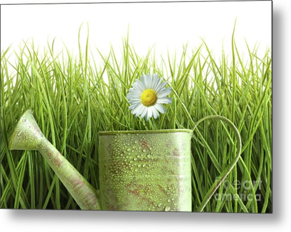 Small Watering Can With Tall Grass Against White Metal Print