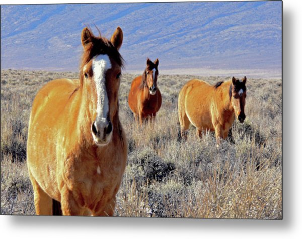 Smile - Mustang Mares Of Eastern Sierra  Metal Print