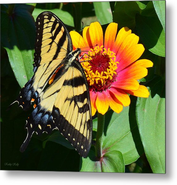 Snacking Tiger Swallowtail Butterfly Metal Print
