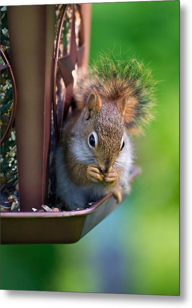 Sneaky Red Squirrel Metal Print by Edward Myers
