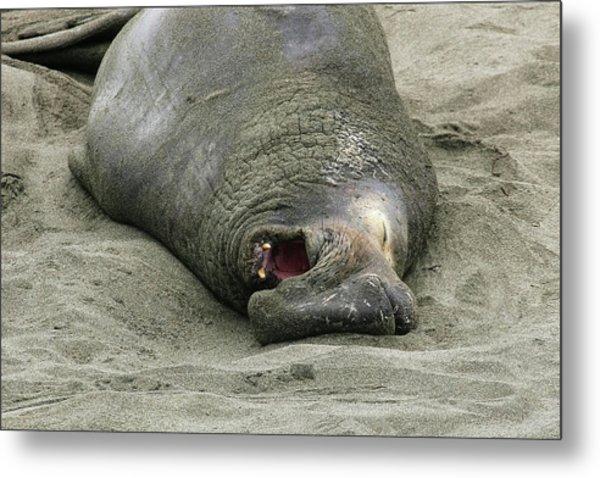 Snoring Elephant Seal Metal Print