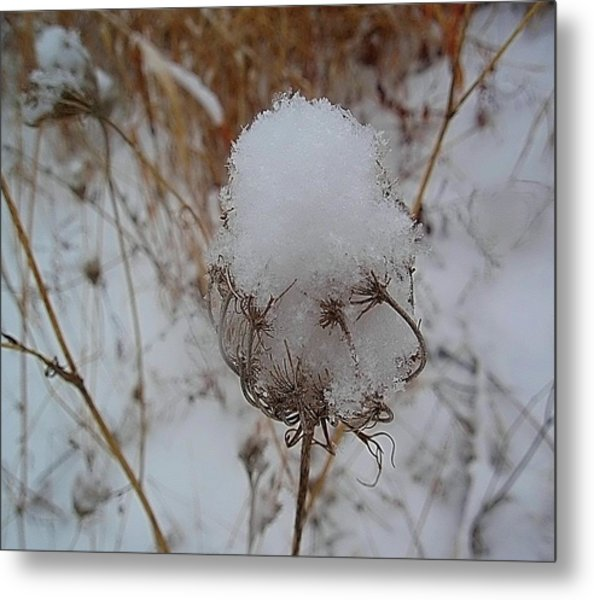 Snow Anne's Lace Metal Print