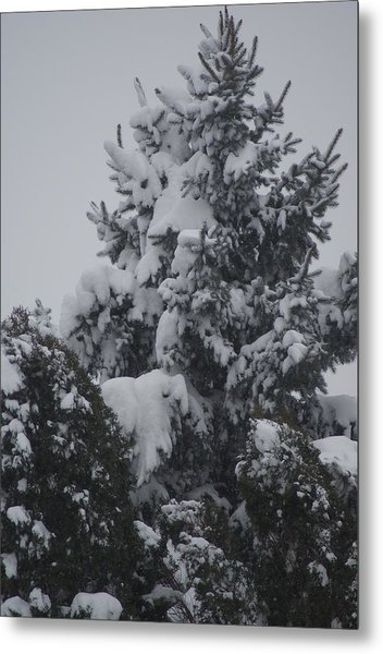 Snow Covered Pine Metal Print by Heather Green