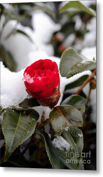 Snow Flower Metal Print by Maureen Norcross