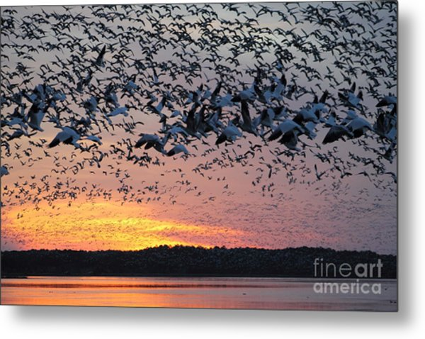 Snow Geese At Sunset Metal Print