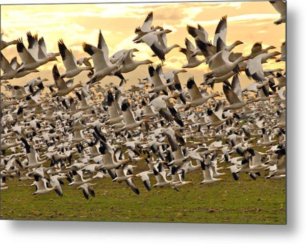 Snow Geese In Flight Metal Print