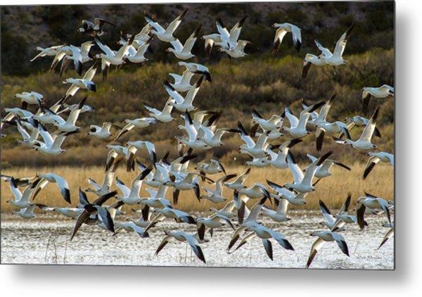 Snow Geese Flock In Flight Metal Print