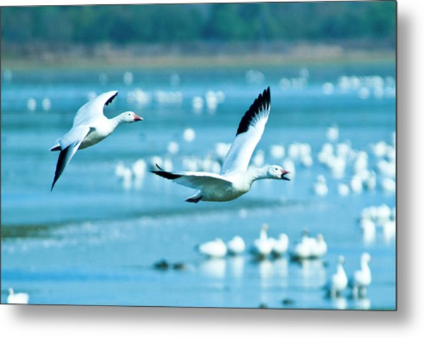 Snow Geese Metal Print by Jerry Weinstein