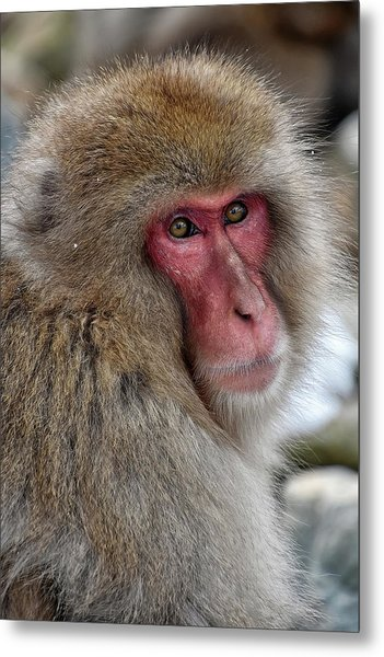Snow Monkey Metal Print