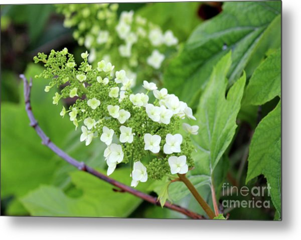 Snow Queen Hydrangea Metal Print