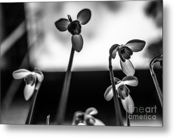 Snowdrops Standing Tall Metal Print
