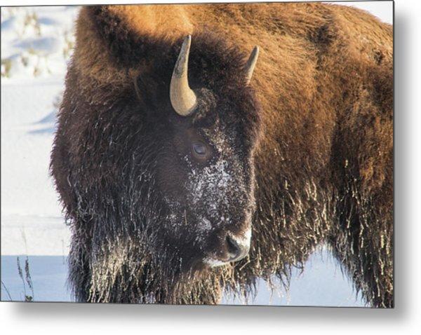 Snowy Bison Metal Print