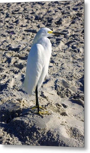 Snowy Egret At Naples, Fl Beach Metal Print