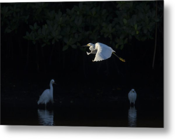 Snowy Egret Gliding In The Morning Light Metal Print