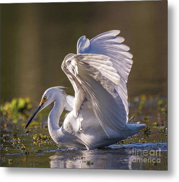 Snowy Egret Hunting - Egretta Thula Metal Print