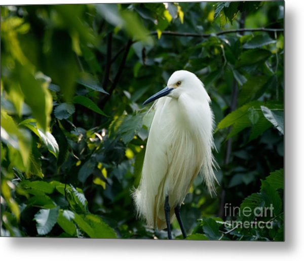Snowy Egret In The Trees Metal Print