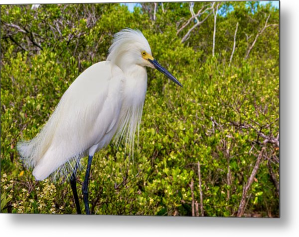 Snowy Egret Metal Print by William Wetmore