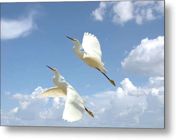 Snowy Egrets In Flight Metal Print