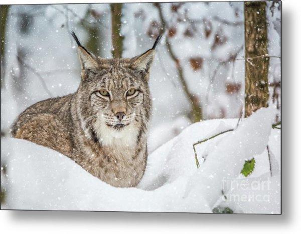 Snowy Lynx Metal Print