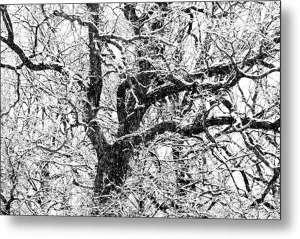Snowy Oak Metal Print