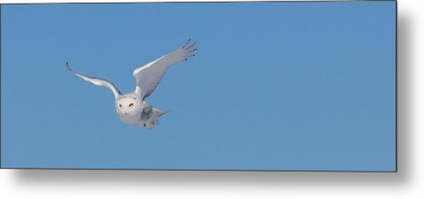 Snowy Owl - Dive Metal Print