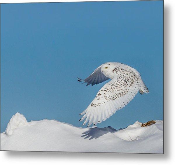Snowy Owl - Taking Flighty Metal Print