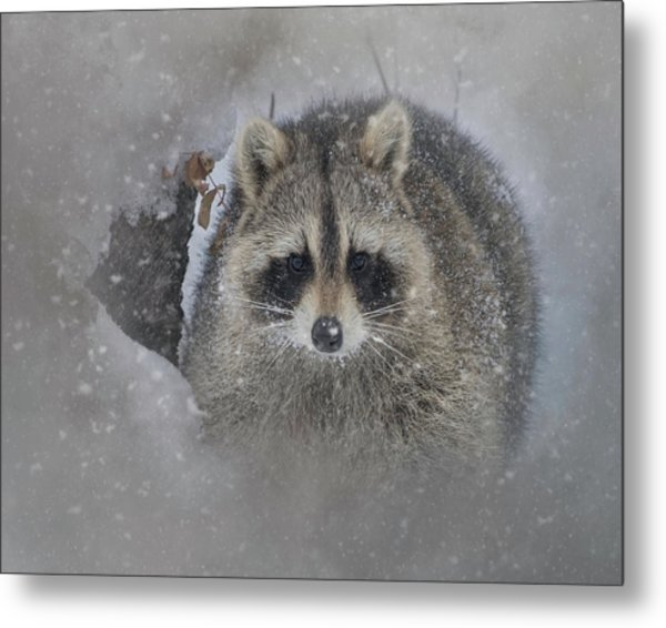 Snowy Raccoon Metal Print