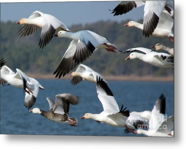 Soaring On The Wing Metal Print