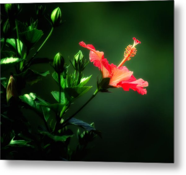 Soft Red Hibiscus Plant Metal Print