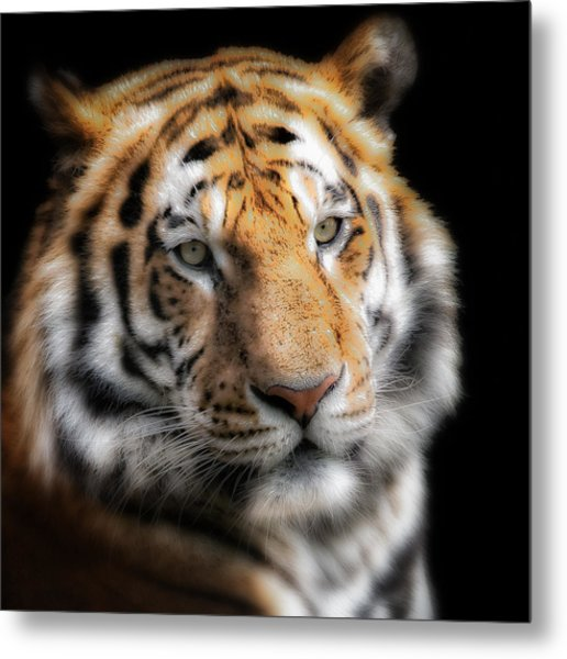 Soft Tiger Portrait Metal Print