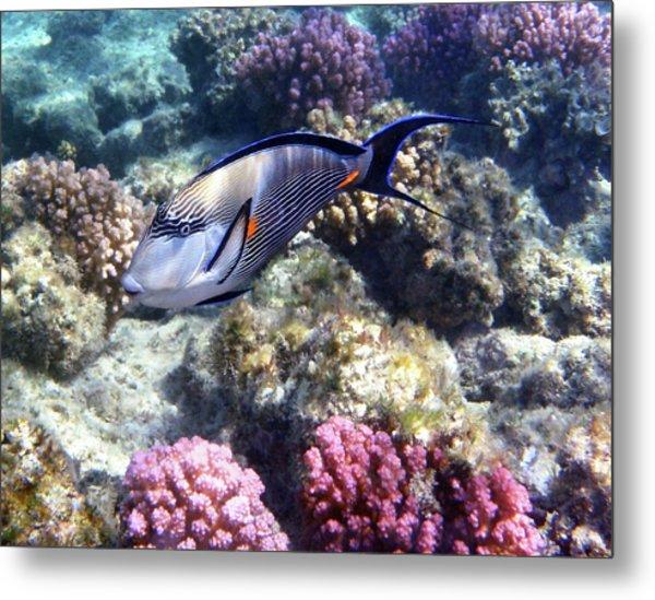Sohal Surgeonfish 5 Metal Print