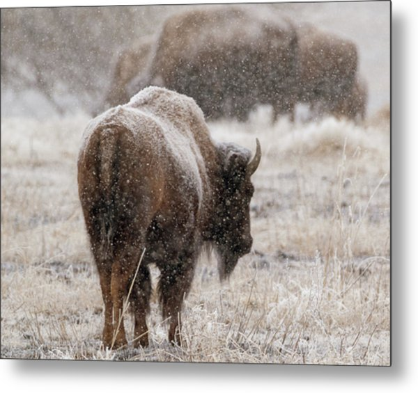 Metal Print featuring the photograph American Bison In Snow by Philip Rodgers