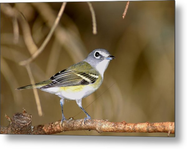 Solitary Vireo Metal Print by Alan Lenk