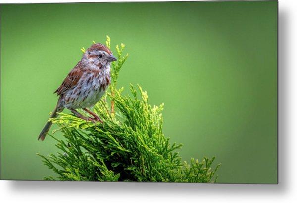 Song Sparrow Perched - Melospiza Melodia Metal Print