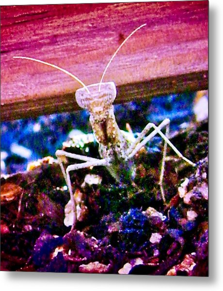 Sonoran Desert Ground Mantis Metal Print