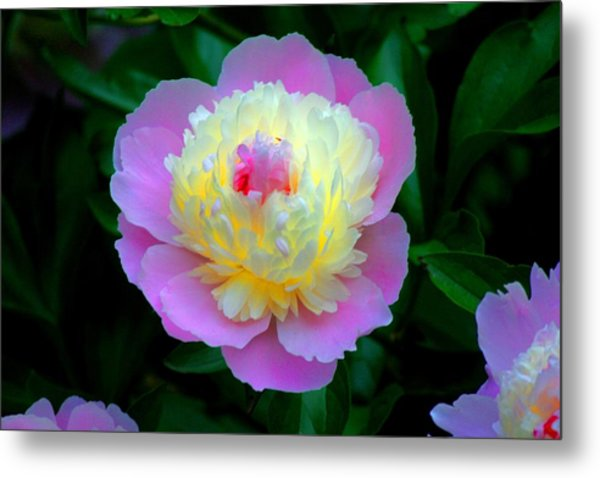 Sorbe Peony Illuminated Metal Print by Martin Morehead