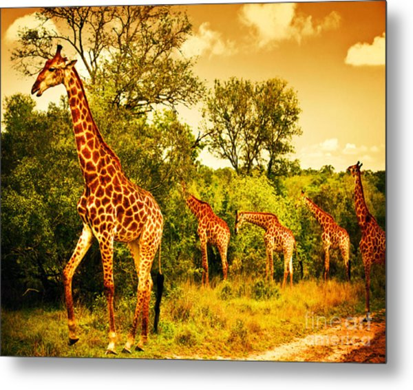 South African Giraffes Metal Print