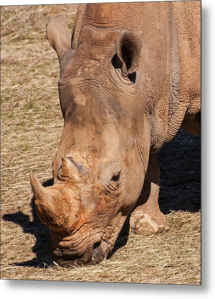 Southern White Rhino Metal Print