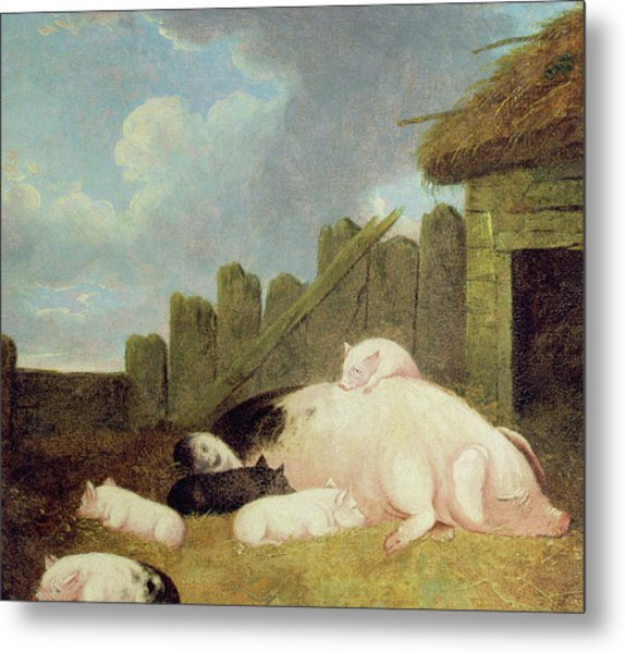 Sow With Piglets In The Sty  Metal Print