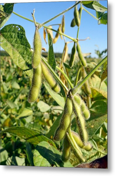 Soybeans In Autumn Metal Print