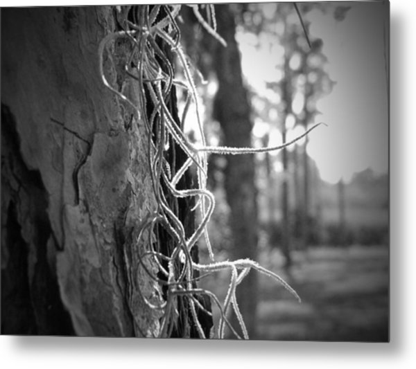 Spanish Moss In The Florida Sun Metal Print by Megan Verzoni