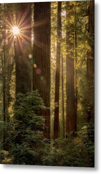 Sparkle In The Redwoods Metal Print