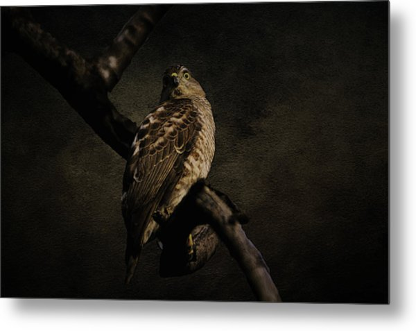 Sparrow Hawk Metal Print