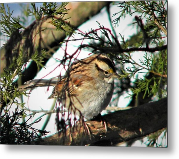 Sparrow In The Snow Metal Print