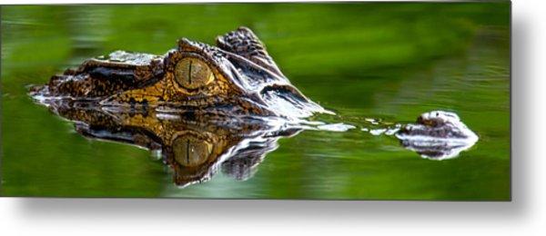 Spectacled Caiman Caiman Crocodilus Metal Print