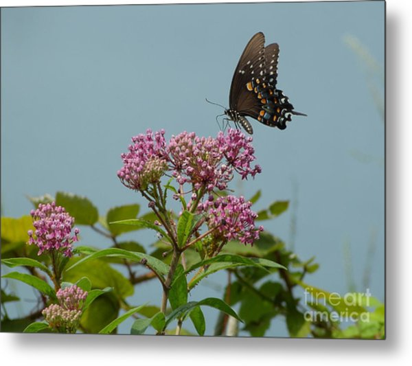 Spicebush Butterfly Metal Print