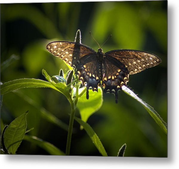 Metal Print featuring the photograph Spicebush Swallowtail I by Wade Clark
